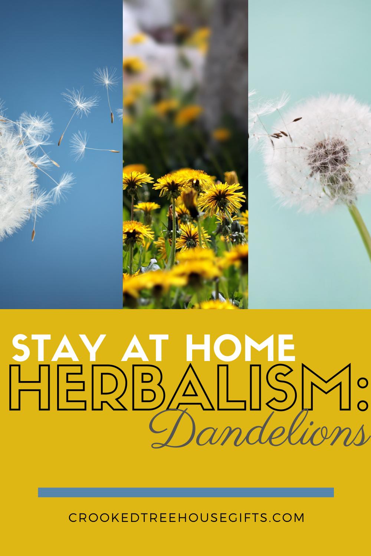 Stay at Home Herbalism_ Dandelions